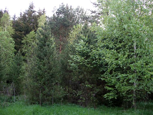 Тридцатилетние культуры кедра сибирского, заросшие сосной, елью и березой.