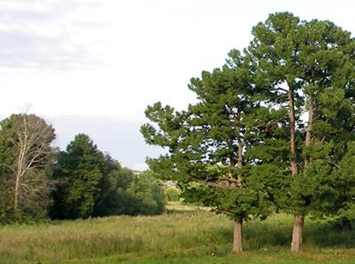 Вековые кедры сибирские на фоне среднерусского пейзажа.
