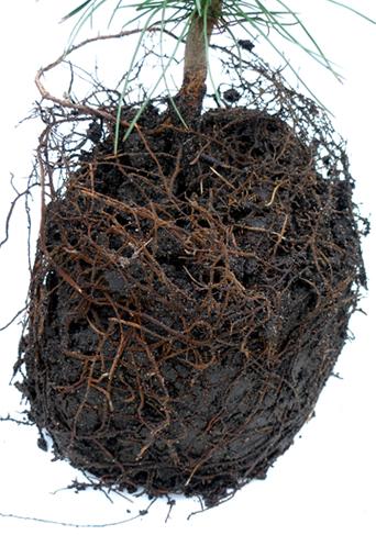 Перекрученная корневая система трехлетнего саженца кедра сибирского, извлеченного из контейнера.